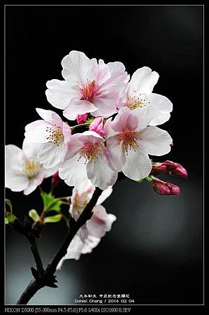 nEO_IMG_140204--CKS Cherry Blossoms 089-800.jpg
