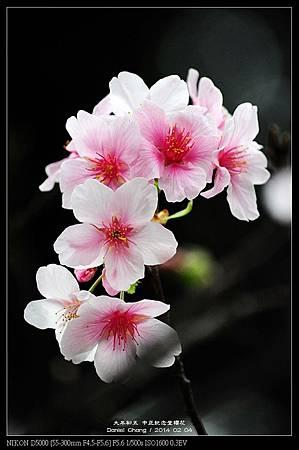 nEO_IMG_140204--CKS Cherry Blossoms 118-800.jpg