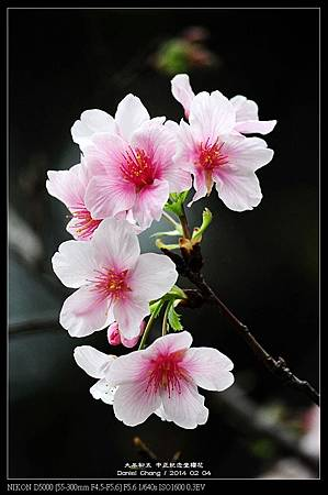 nEO_IMG_140204--CKS Cherry Blossoms 141-800.jpg