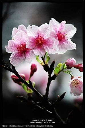 nEO_IMG_140204--CKS Cherry Blossoms 151-800.jpg