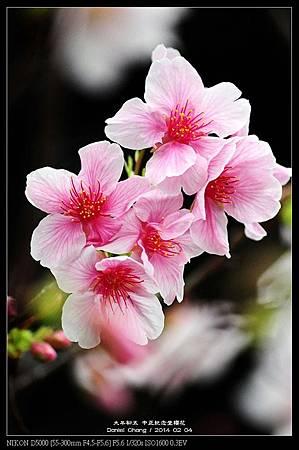 nEO_IMG_140204--CKS Cherry Blossoms 162-800.jpg