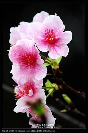 nEO_IMG_140204--CKS Cherry Blossoms 172-800.jpg