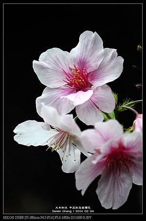 nEO_IMG_140204--CKS Cherry Blossoms 176-800.jpg