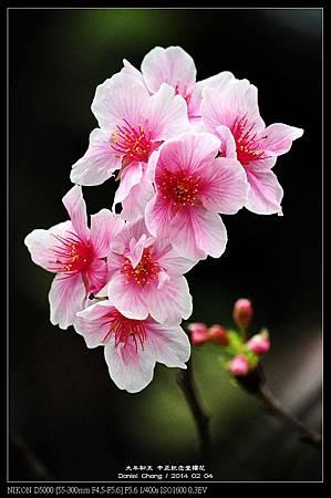 nEO_IMG_140204--CKS Cherry Blossoms 204-800.jpg
