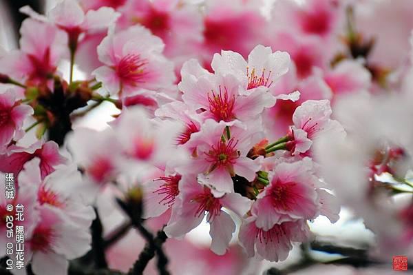 150301--Sakura 045-1000.JPG