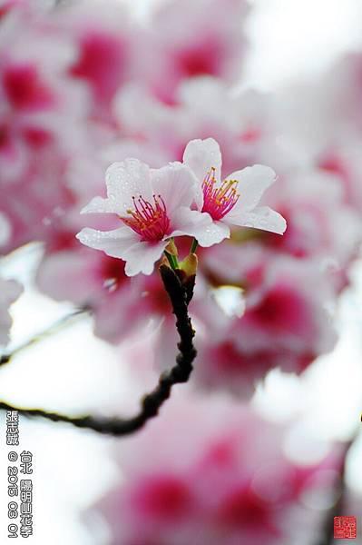 150301--Sakura 047-1000.JPG