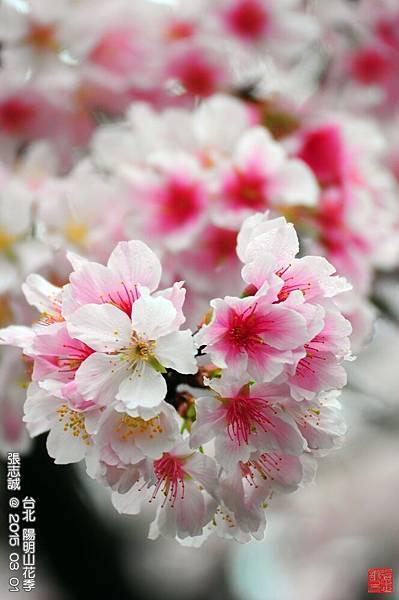 150301--Sakura 059-1000.JPG
