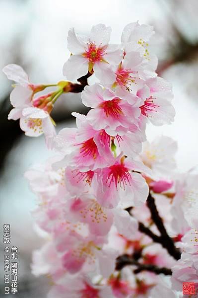 150301--Sakura 067-1000.JPG