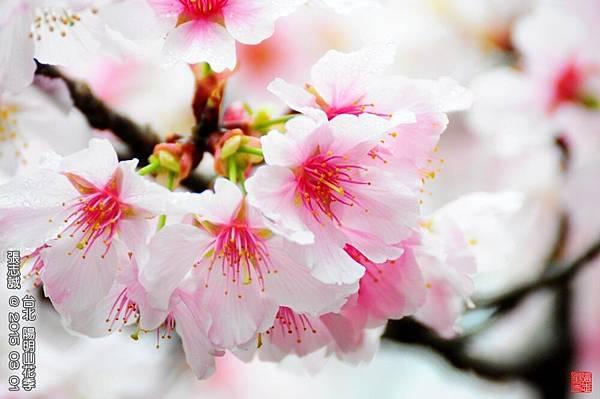 150301--Sakura 071-1000.JPG