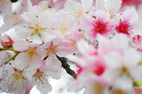 150301--Sakura 080-1000.JPG