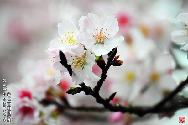 150301--Sakura 084-1000.JPG