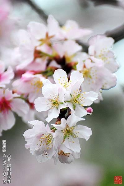 150301--Sakura 086-1000.JPG