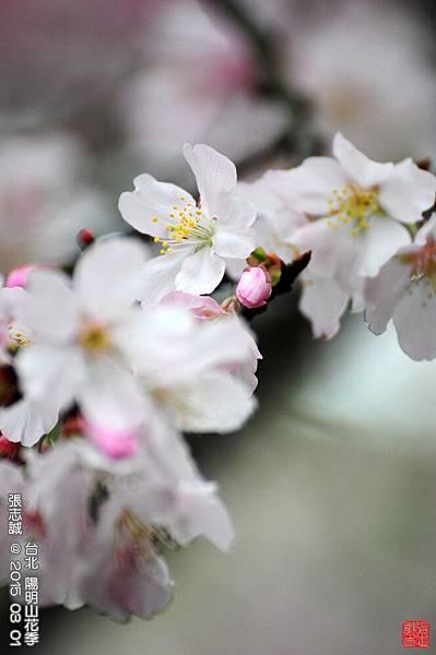 150301--Sakura 094-1000.JPG
