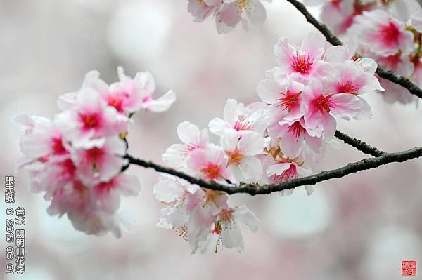 150301--Sakura 108-1000.JPG