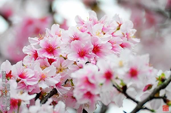 150301--Sakura 115-1000.JPG
