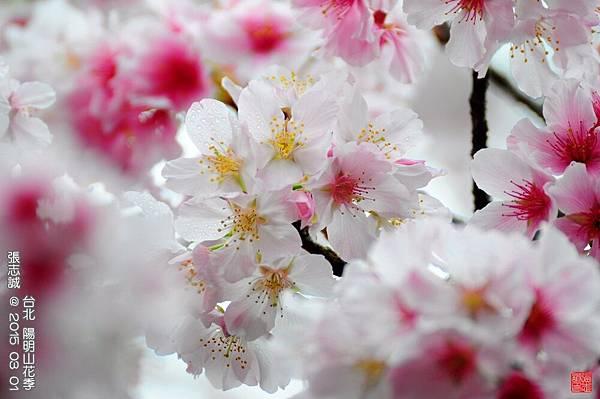 150301--Sakura 122-1000.JPG