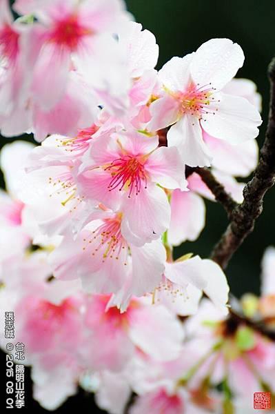 150301--Sakura 133-1000.JPG