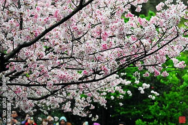 150301--Sakura 136-1000.JPG