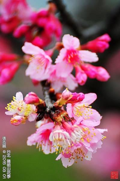 150301--Sakura 156-1000.JPG