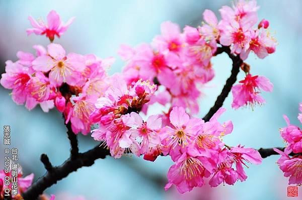 150301--Sakura 193-1000.JPG