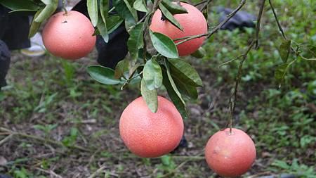 紅寶石葡萄柚.JPG