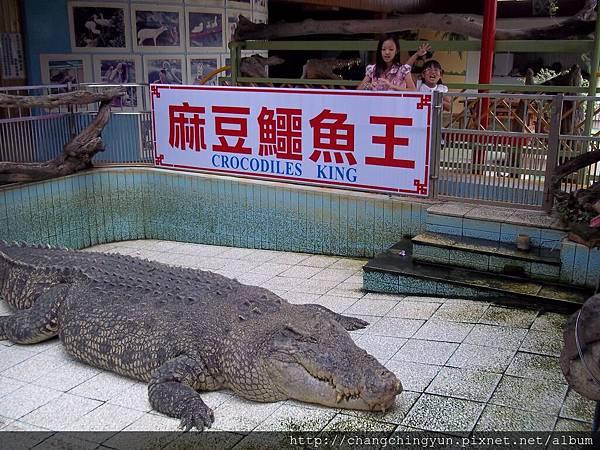 大大大鱷魚