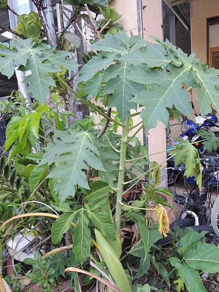 壓力公木瓜樹