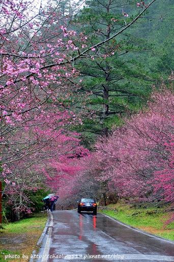 2014武陵櫻花季-8