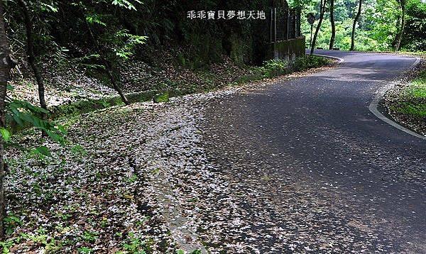 樹林賞桐-16.JPG