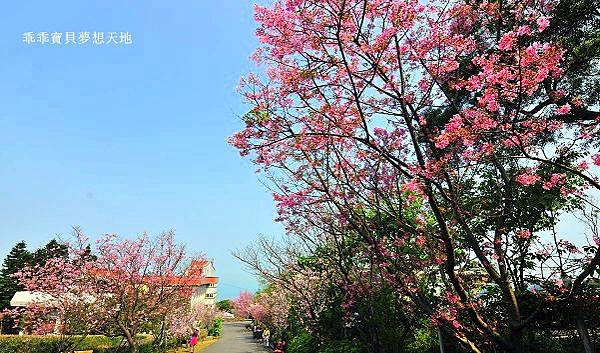 八里櫻花季-41.JPG