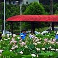 雙溪荷花園-4.JPG