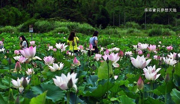雙溪荷花園-7.JPG