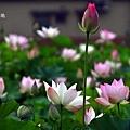 雙溪荷花園-11.JPG