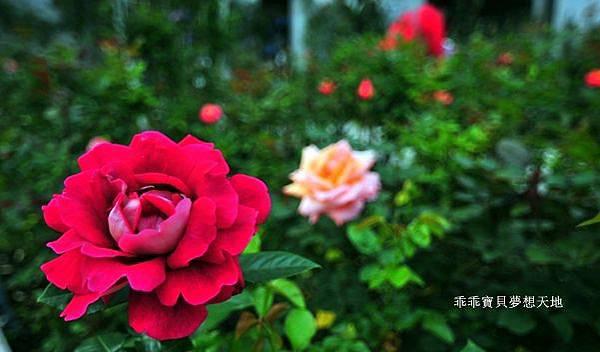 雅聞七里香玫瑰森林-28.JPG