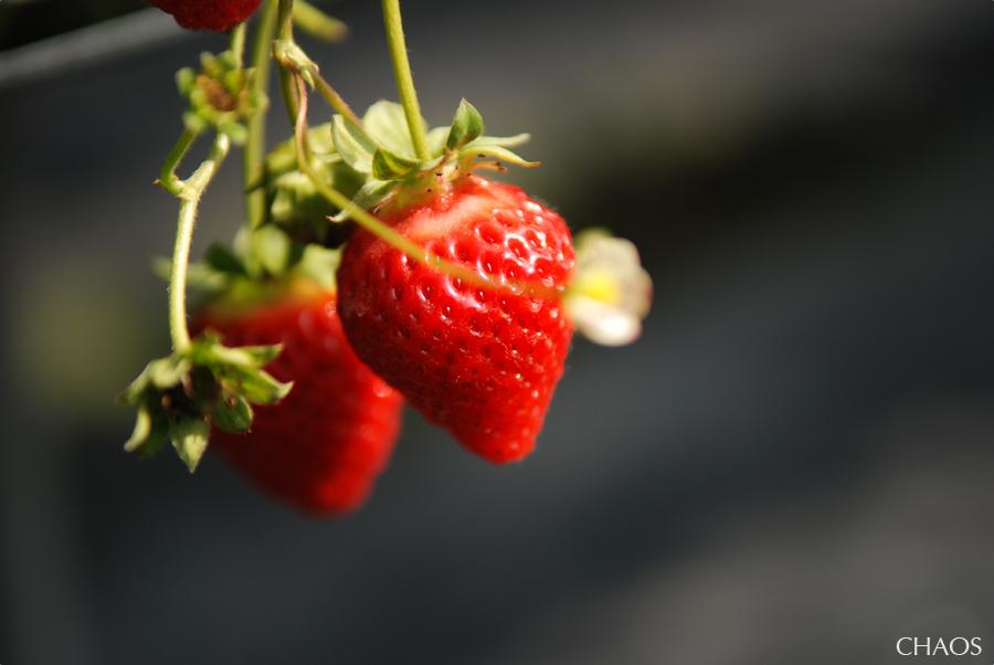 採草莓 (2).jpg