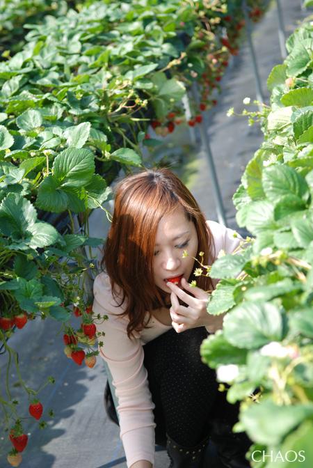 採草莓.jpg