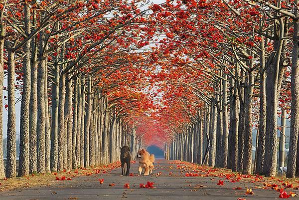台南白河鎮的林初埤木棉花道