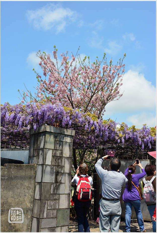 紫藤魔力2.jpg