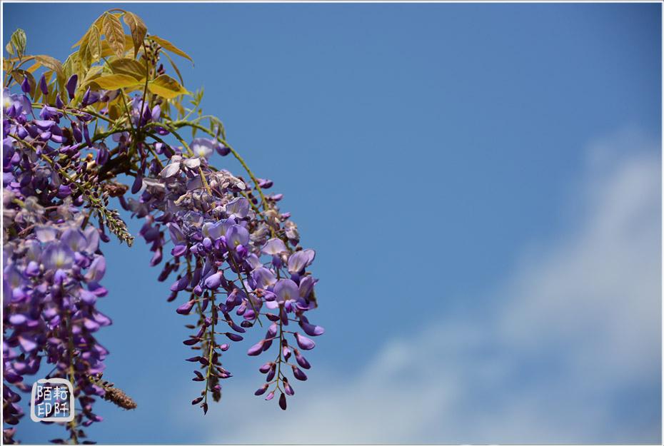 紫藤魔力5.jpg