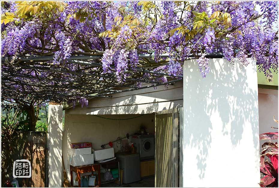 紫藤魔力7.jpg