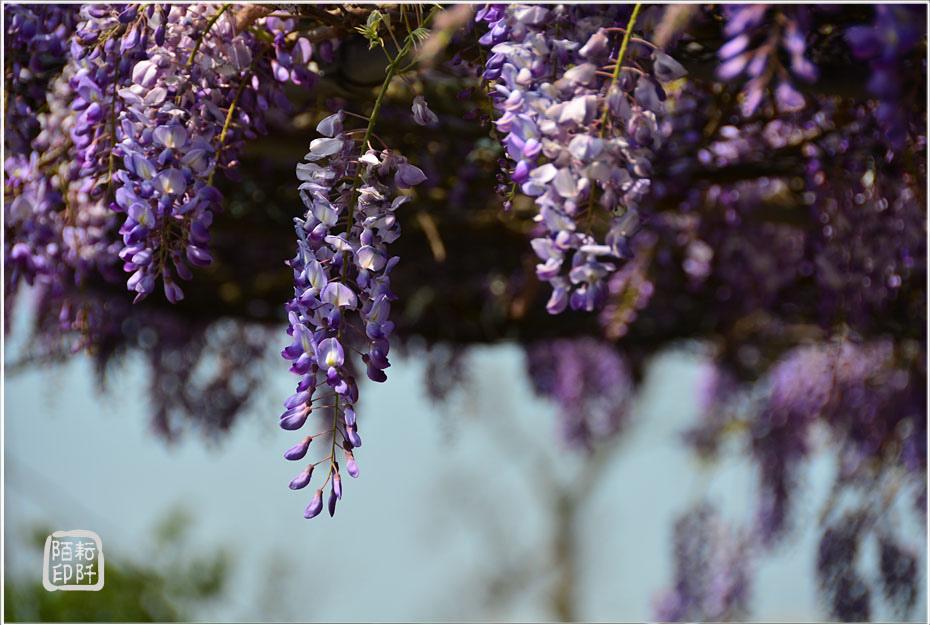 紫藤魔力8.jpg