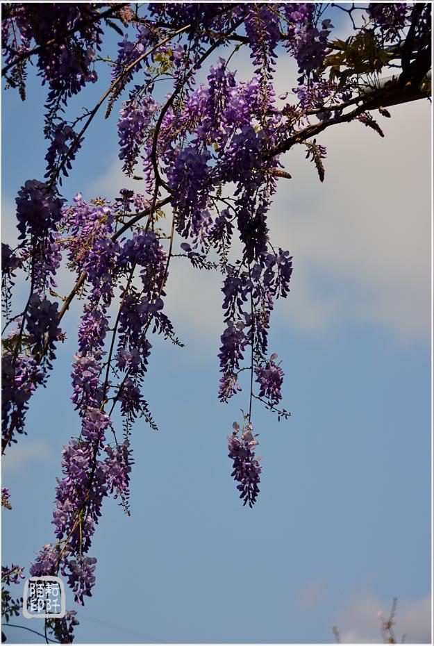 紫藤魔力10.jpg