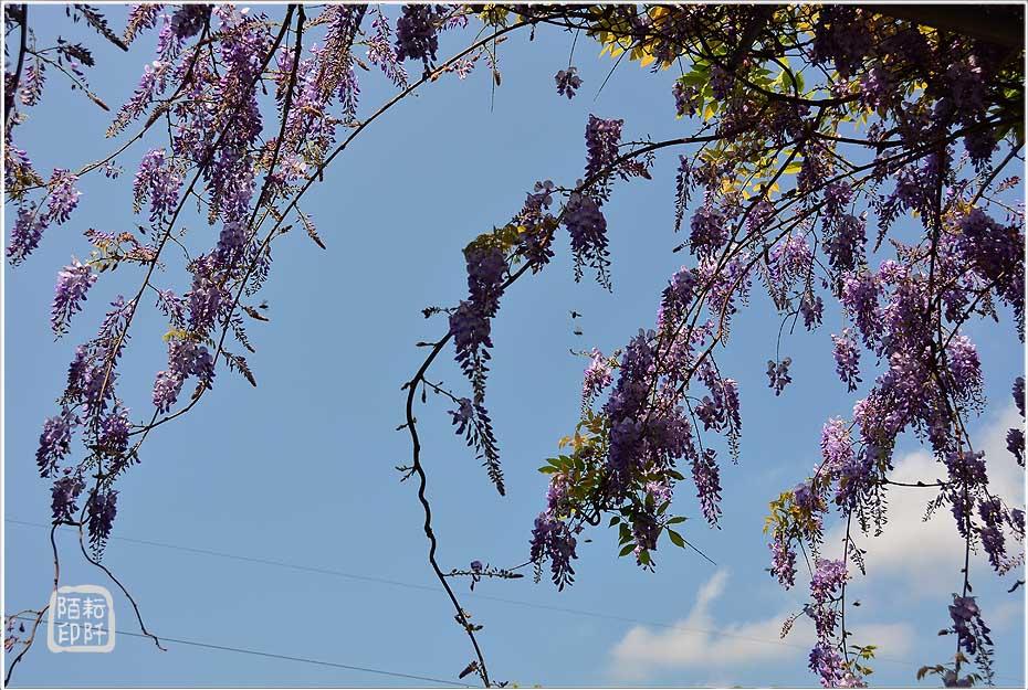 紫藤魔力9.jpg
