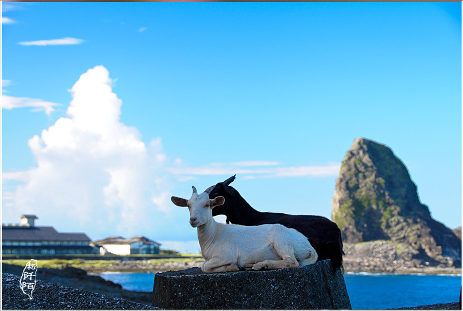 蘭嶼的山羊3.jpg
