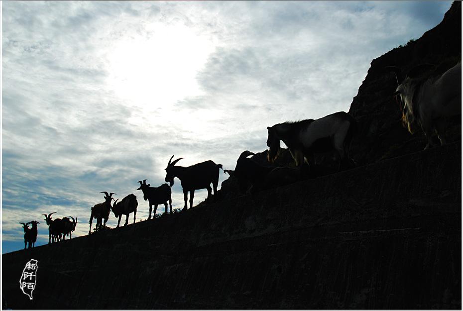 蘭嶼的山羊4.jpg