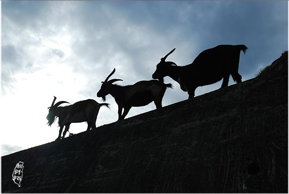 蘭嶼的山羊5.jpg