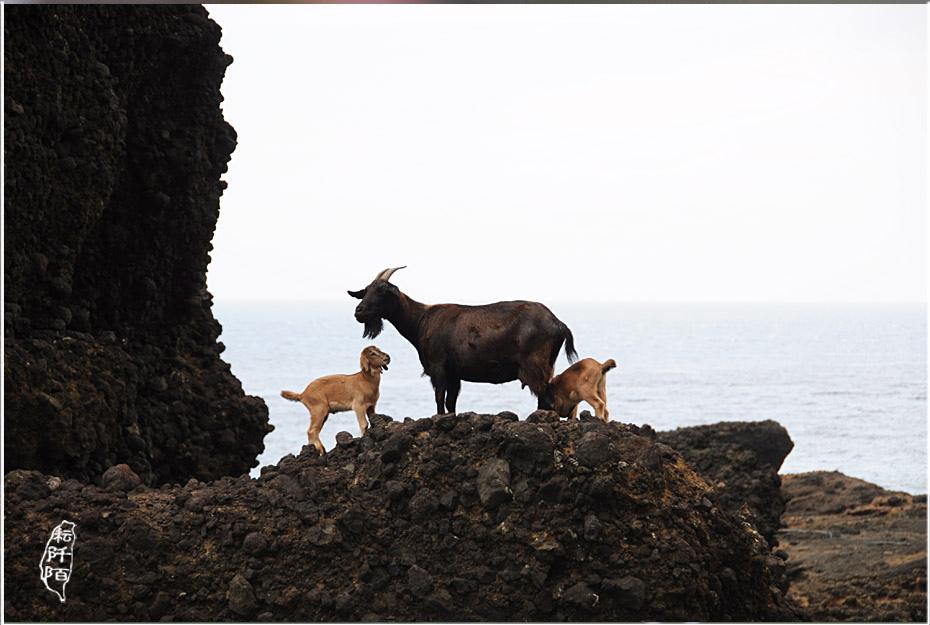 蘭嶼的山羊6.jpg