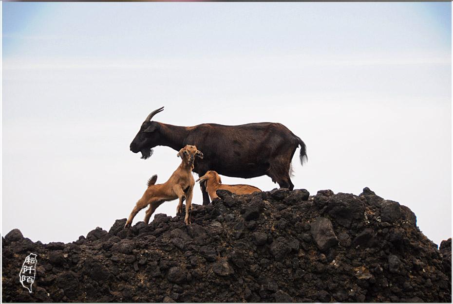 蘭嶼的山羊7.jpg