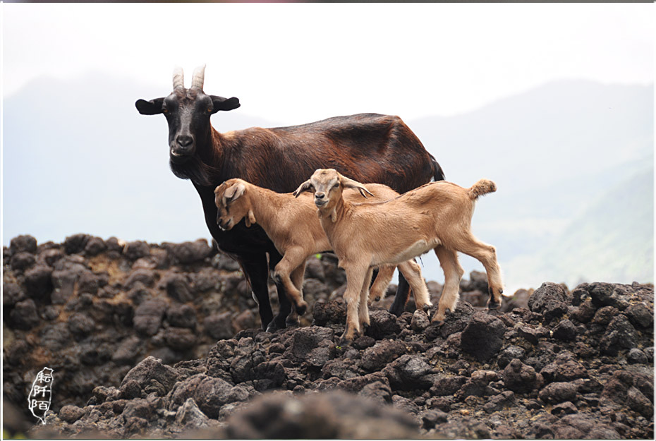 蘭嶼的山羊8.jpg
