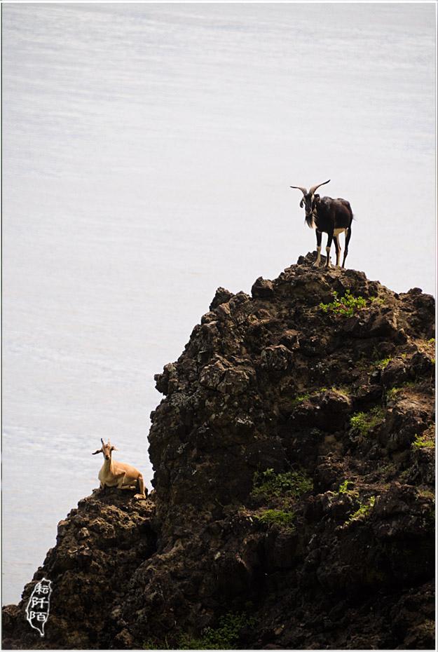 蘭嶼的山羊9.jpg